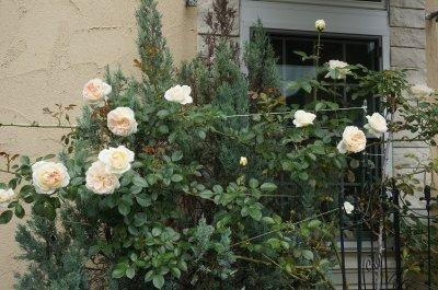 画像3: バラに覆われた看板になった自転車