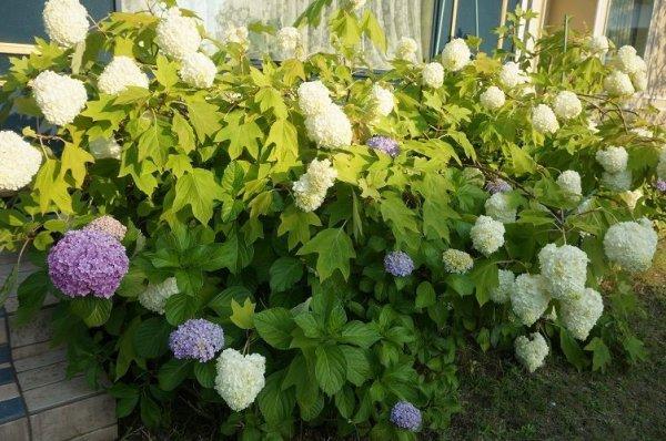 画像1: 今年は、アジサイがいつもより咲いています。 (1)